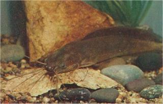 Clarias angolensis • Clariidae • Cat-eLog - PlanetCatfish.com - photo#5