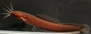 Encheloclarias curtisoma