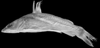 Chrysichthys acsiorum