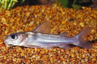 Chrysichthys aluuensis