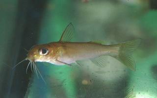 Chrysichthys auratus