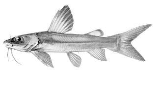Chrysichthys macropterus