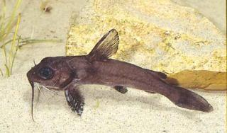 Chrysichthys maurus