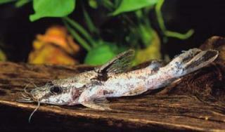 Chrysichthys ornatus
