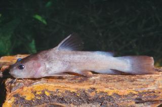 Lophiobagrus brevispinis