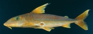 Anduzedoras oxyrhynchus