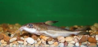 Hemidoras stenopeltis