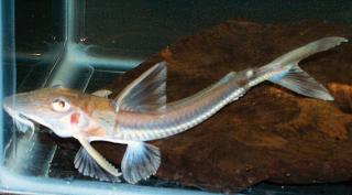 Leptodoras cataniai