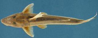 Leptodoras nelsoni