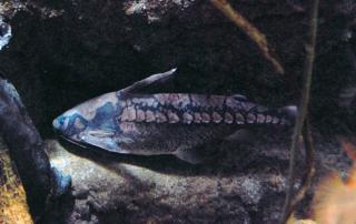 Lithodoras dorsalis