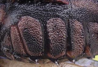 Megalodoras uranoscopus
