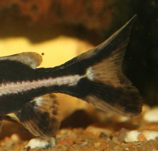 Orinocodoras eigenmanni