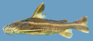 Platydoras brachylecis
