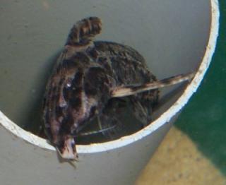 Rhynchodoras woodsi
