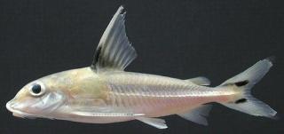 Tenellus trimaculatus