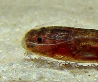 Gladioglanis anacanthus