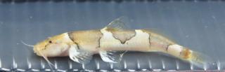 Nannoglanis fasciatus