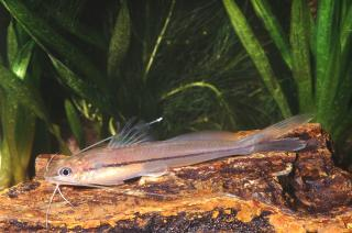 Pimelodella gracilis