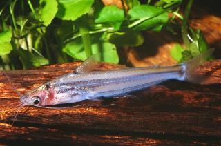 Pachypterus atherinoides