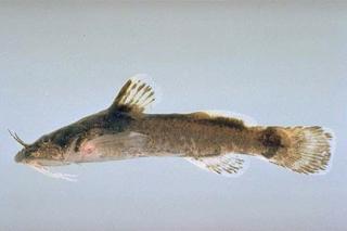 Noturus eleutherus