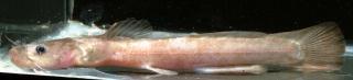 Noturus exilis