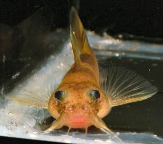 Noturus flavater