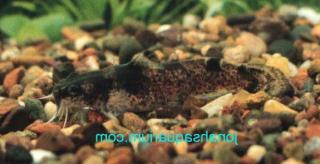 Noturus miurus