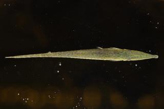 Acestridium discus