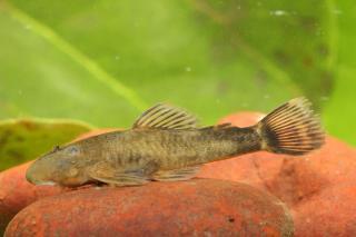 Ancistrini sp. (L461)
