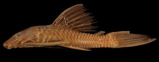Ancistrus centrolepis