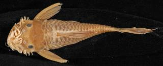 Ancistrus occidentalis