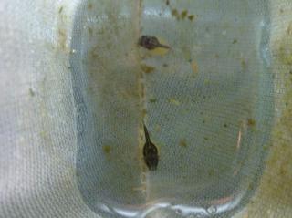 Ancistrus ranunculus
