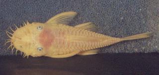 Ancistrus sp. (4)