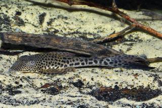 Aphanotorulus emarginatus
