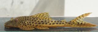 Aphanotorulus sp. (L131)