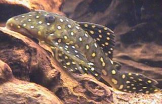 Baryancistrus cf. niveatus