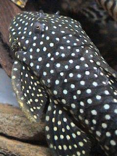 Baryancistrus sp. (L003)