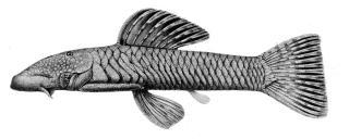 Chaetostoma anomalum