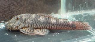 Chaetostoma cf. fischeri