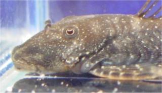 Chaetostoma dupouii