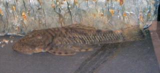 Chaetostoma guairense