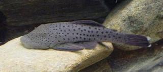 Chaetostoma sp. (L402)