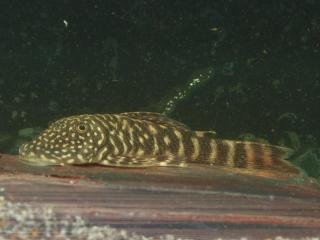 Chaetostoma sp. (L455)