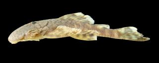 Cordylancistrus torbesensis