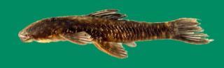 Corymbophanes andersoni