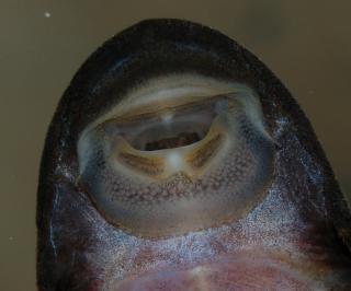 Dekeyseria amazonica