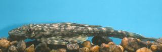 Dekeyseria scaphirhynchus