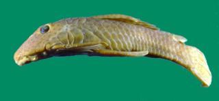 Delturus parahybae