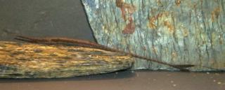 Farlowella mariaelenae