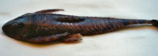 Harttia guianensis